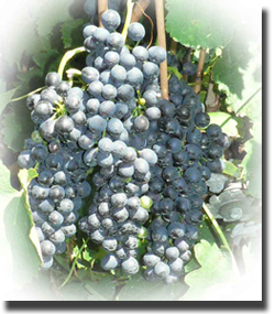 Shiraz Grapes growing at Rose Creek Estate